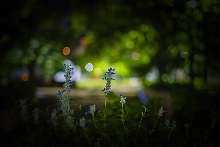 夜のラベンダー