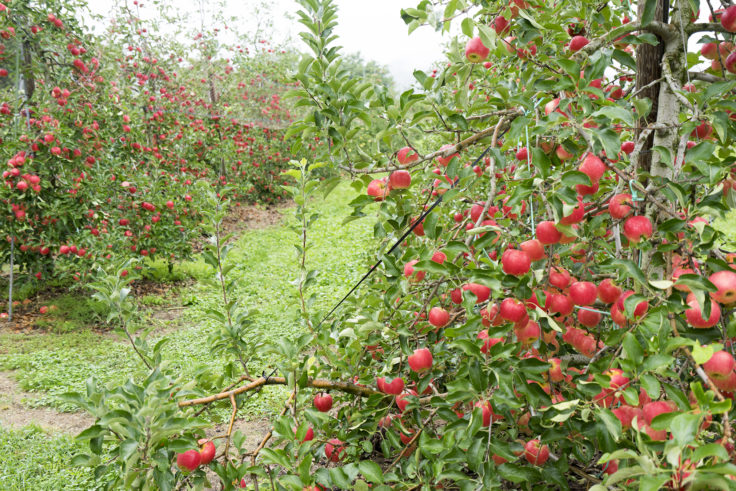 安曇野ちひろ公園りんごの木
