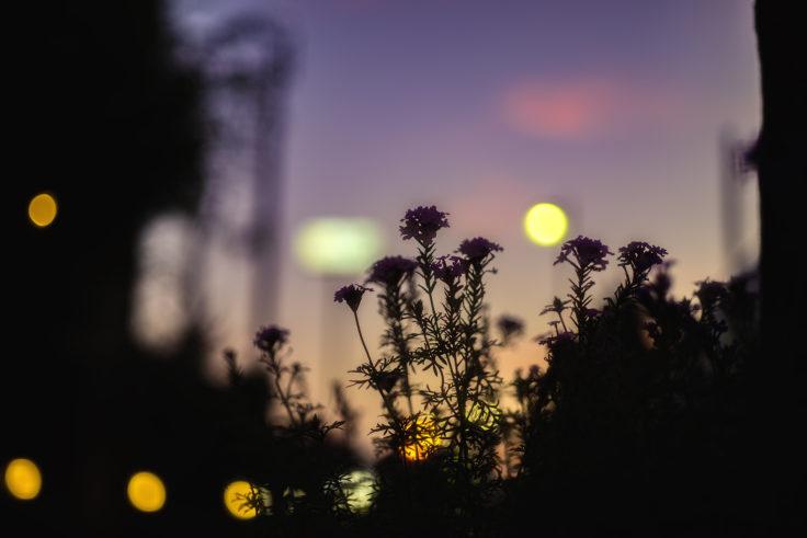 夕焼け背景の花