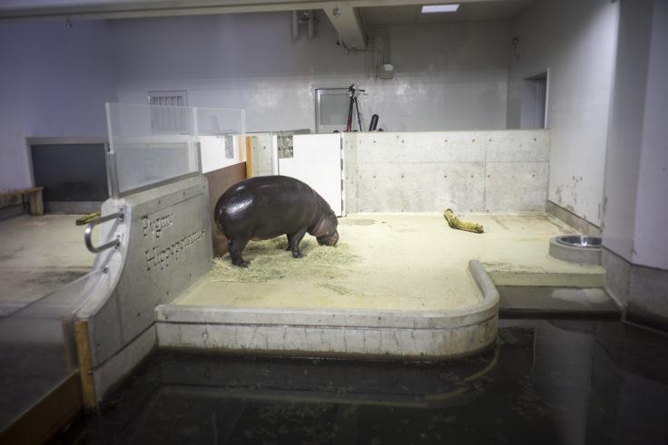 いしかわ動物園のコビトカバお父さん