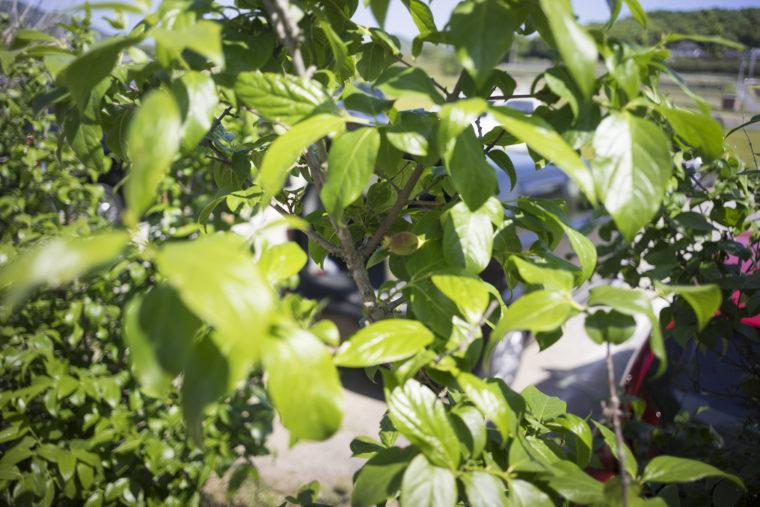 牛おじさんのアーモンドの木
