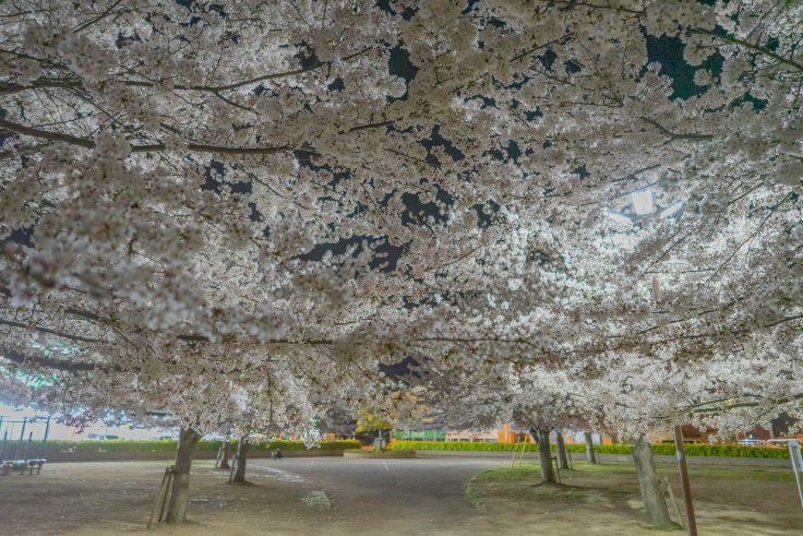 来た中央公園の夜桜9