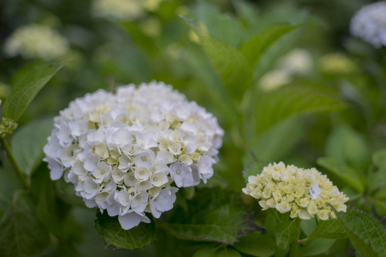 摩耶の紫陽花3