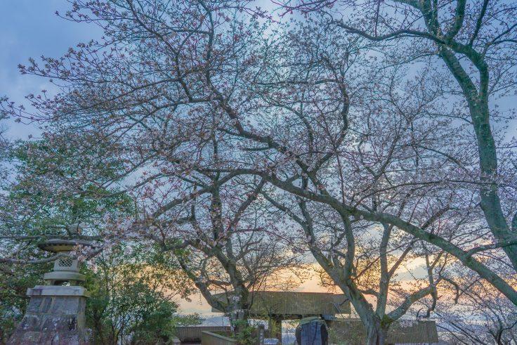 白峰展望台の桜と夕焼け
