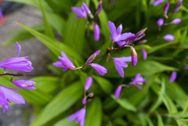 紫のシラン2