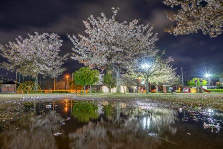 木太中央公園の夜桜リフレクション