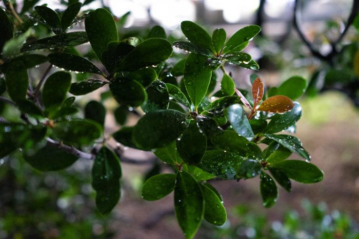 雨に濡れた葉っぱ