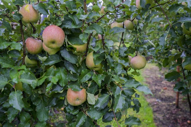 信州りんごの木アップ