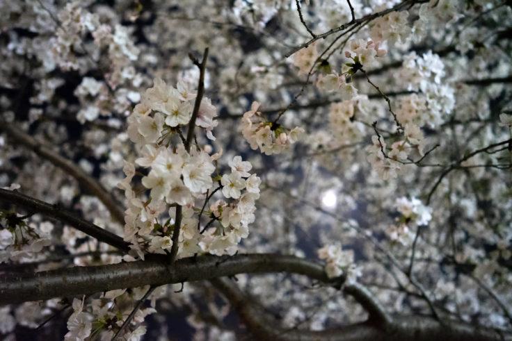 木太中央公園の夜桜ライトアップ15