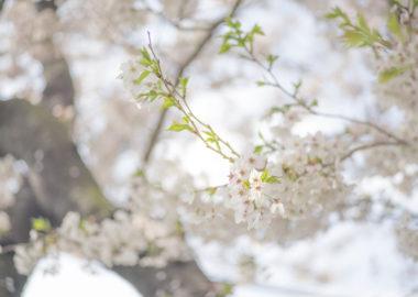 桜フンワリ
