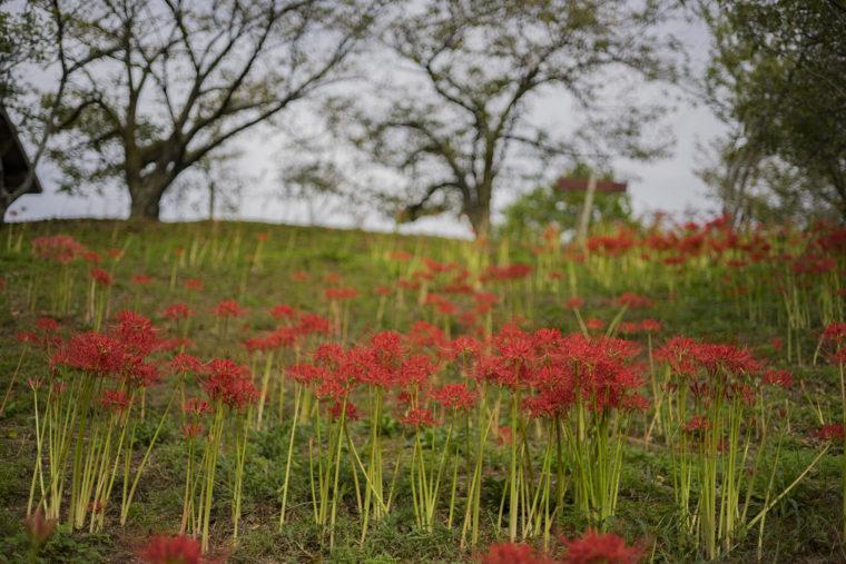 みろく自然公園の赤い彼岸花