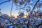 夕焼けと桜2