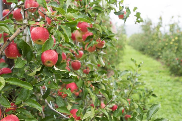安曇野ちひろ公園りんごの木アップ