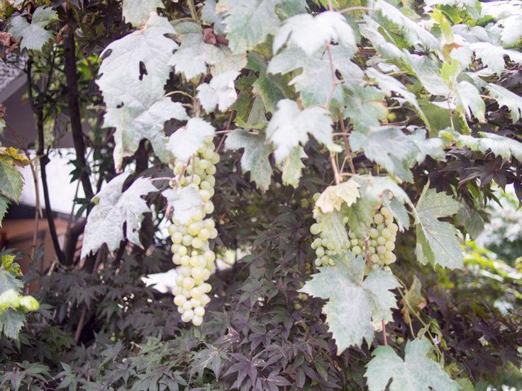 長町の葡萄
