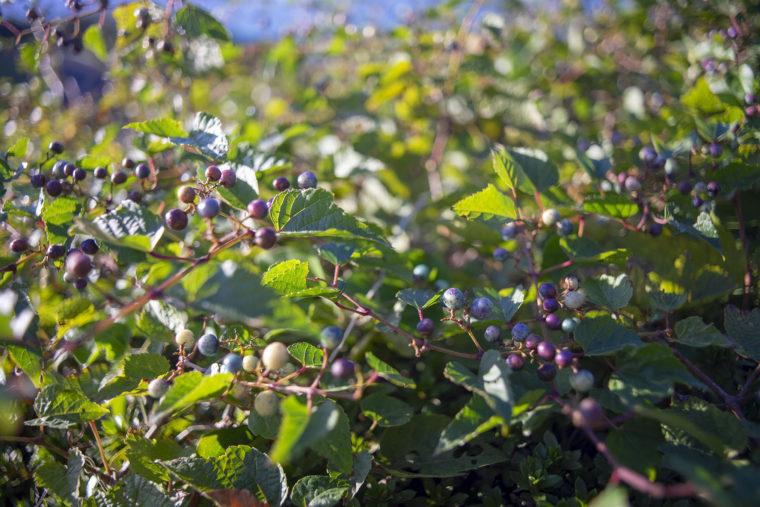さぬき市野外音楽広場テアトロンのノブドウ