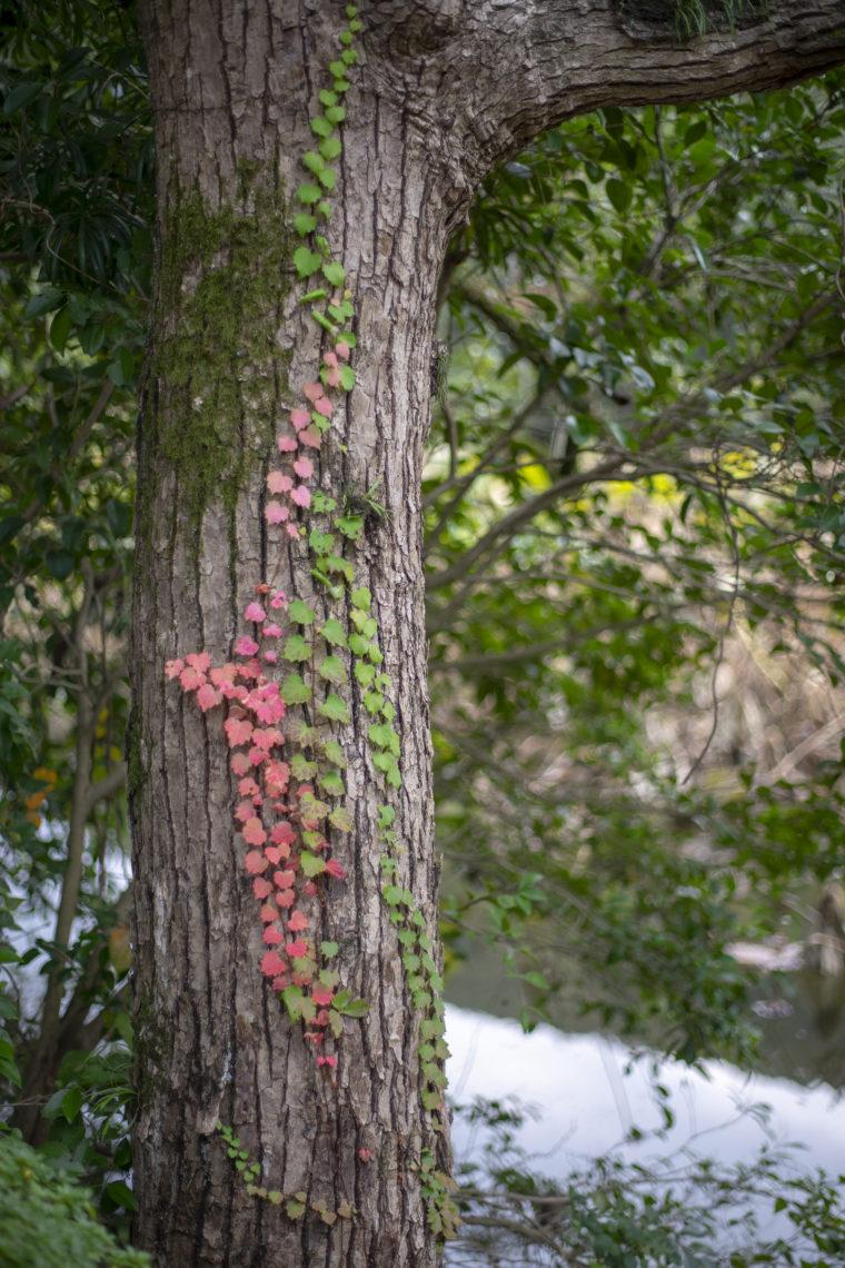 栗林公園の蔦の紅葉