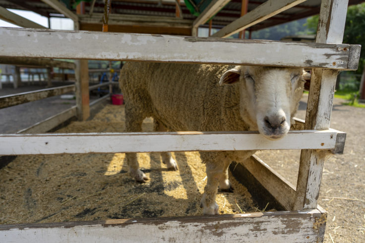 しおのえふじかわ牧場の羊