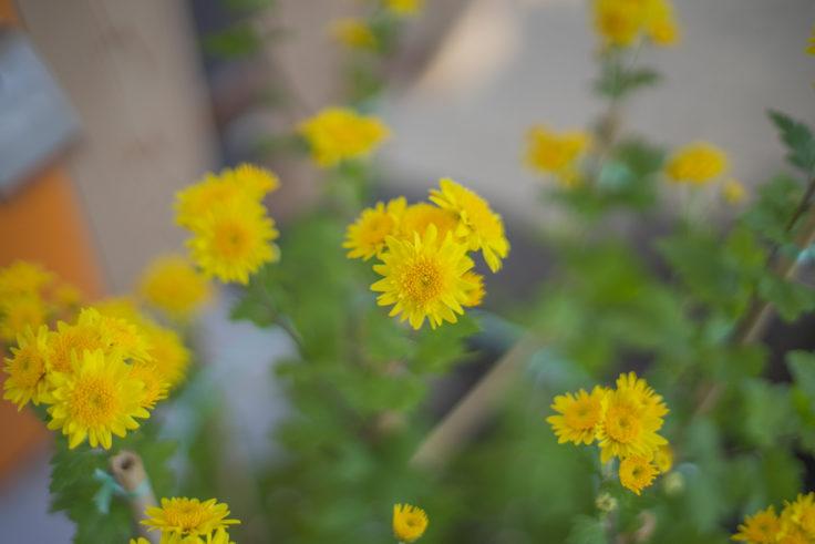 北灘漁協さかな市の黄色の菊