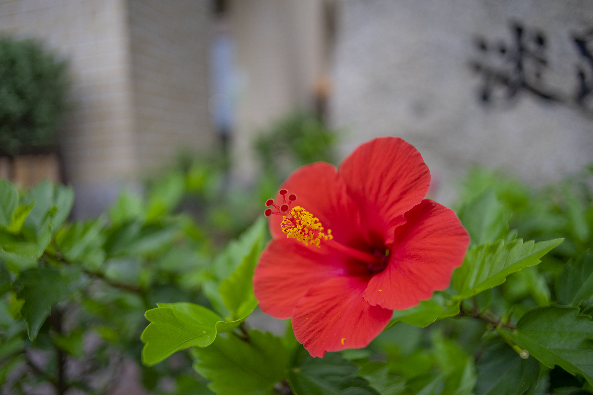 ハイビスカスの花言葉と誕生花