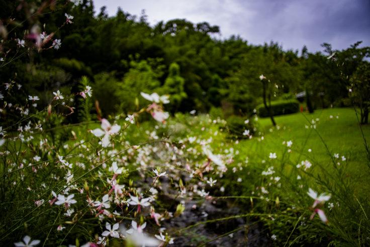 県立淡路島公園のガウラ