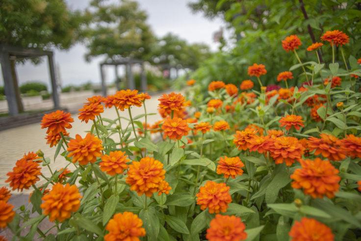 県立淡路島公園のマリーゴールド2