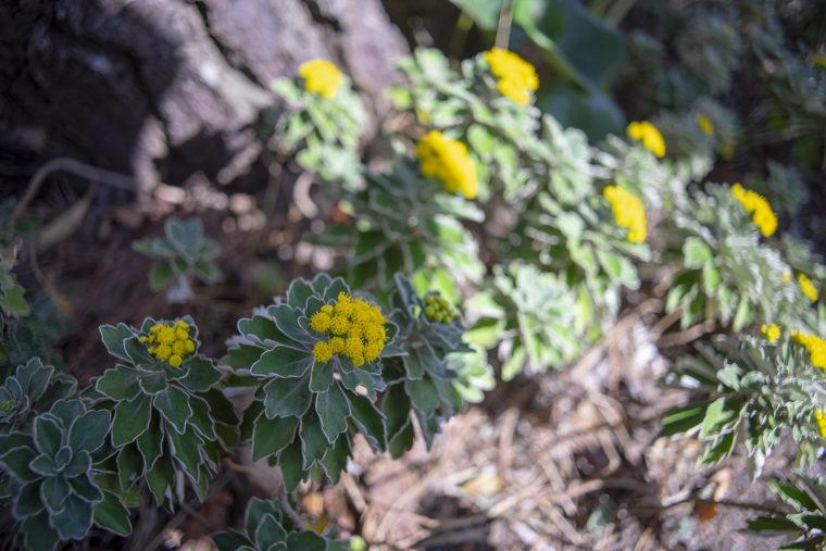 イソギクの花