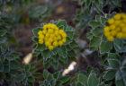 イソギクの花2