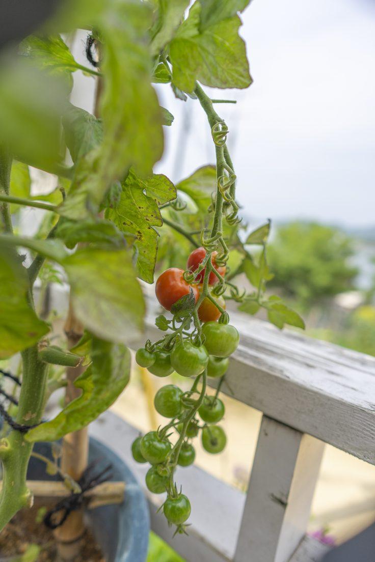 プロバンスブルーのミニトマト