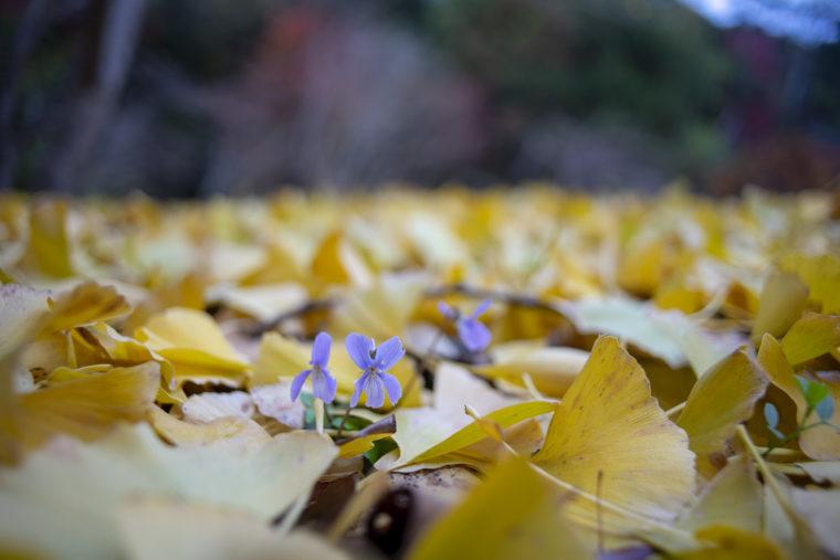 箸蔵寺高灯篭イチョウ落ち葉のスミレ