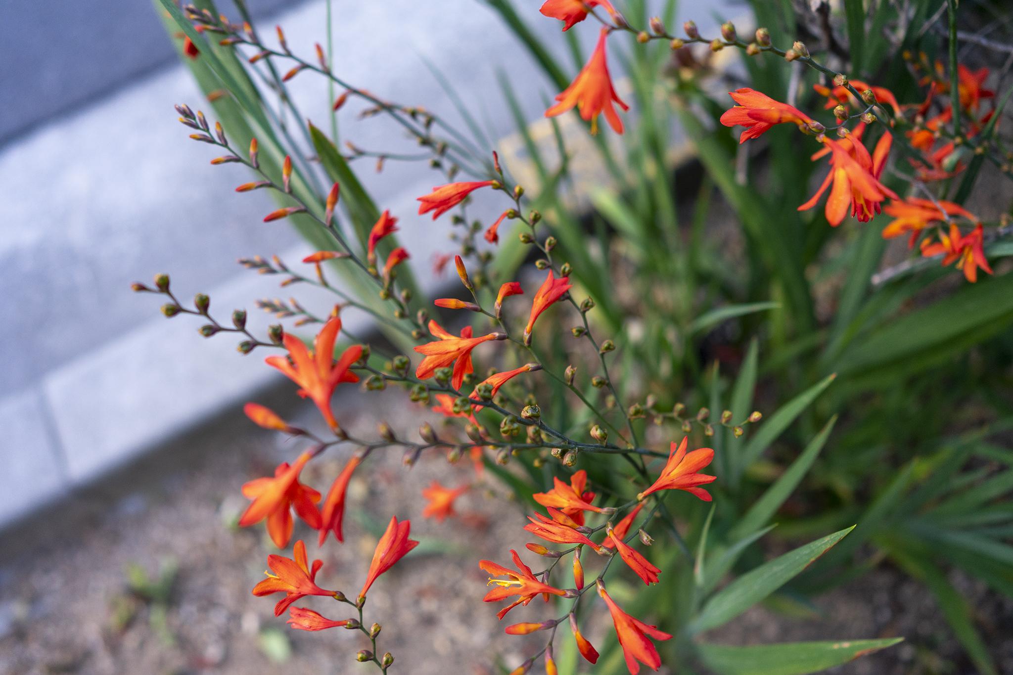 モントブレチア(クロコスミア)の花言葉と誕生花