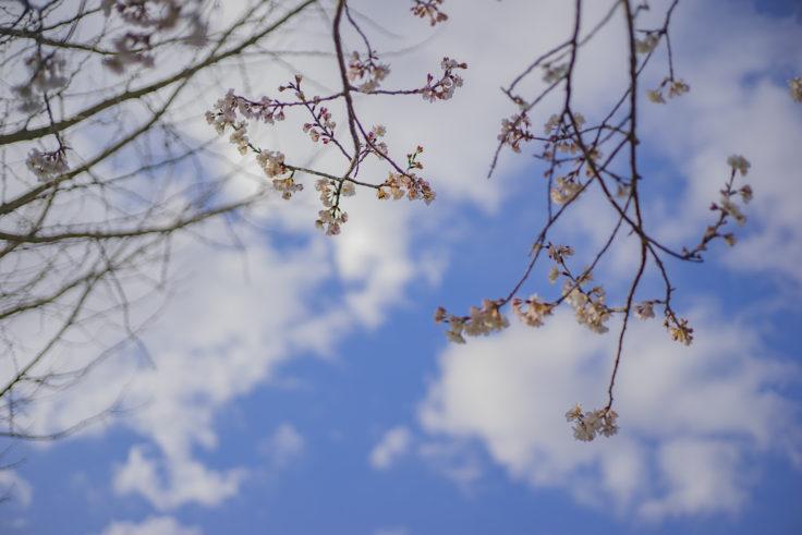 うしおじさんの桜