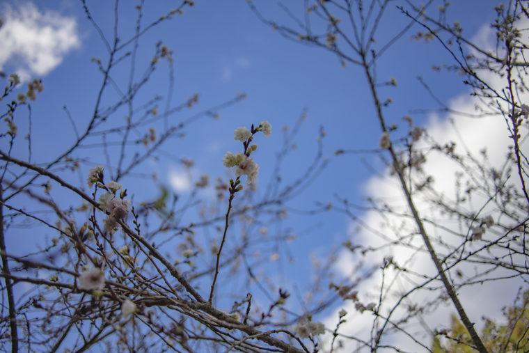 箸蔵山御本殿に咲く十月桜