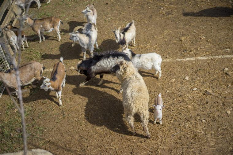 うしおじさんの山羊の子ども