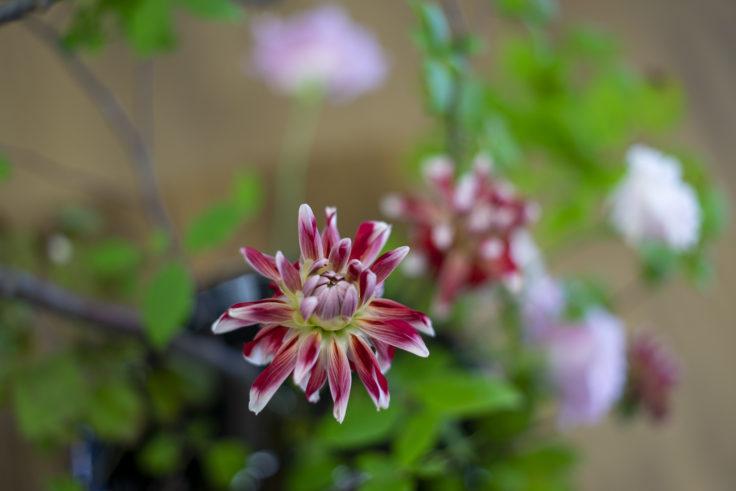 α7Ⅱ+ZEISS Loxia 2/50で花を撮影