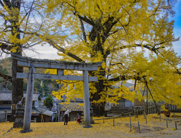 岩部神社のイチョウと鳥居