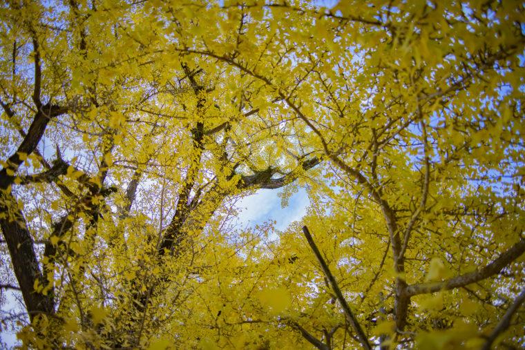 岩部八幡神社のイチョウを見上げる