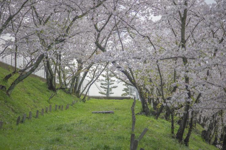 峰山の桜2
