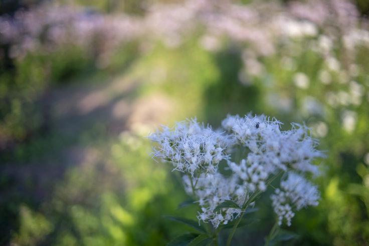 ウチノ海総合公園の白いフジバカマ