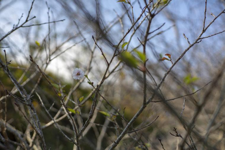 前山ダムの秋に咲く桜