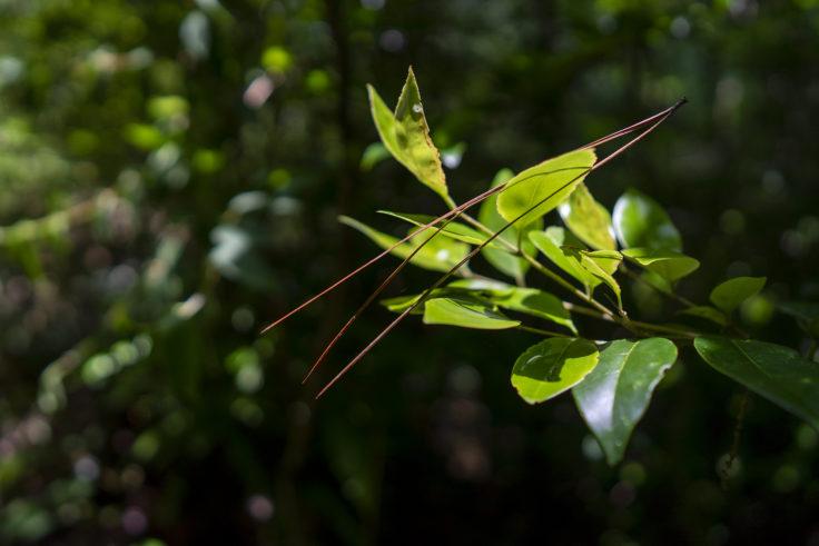 三本松の葉