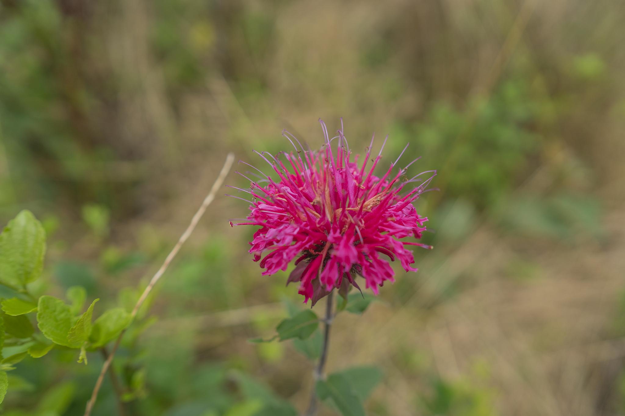 シソ科のベルガモットの花