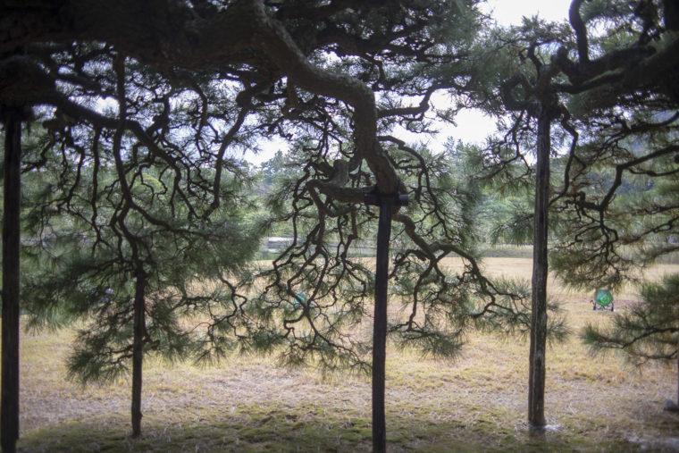 屏風松の枝ぶり