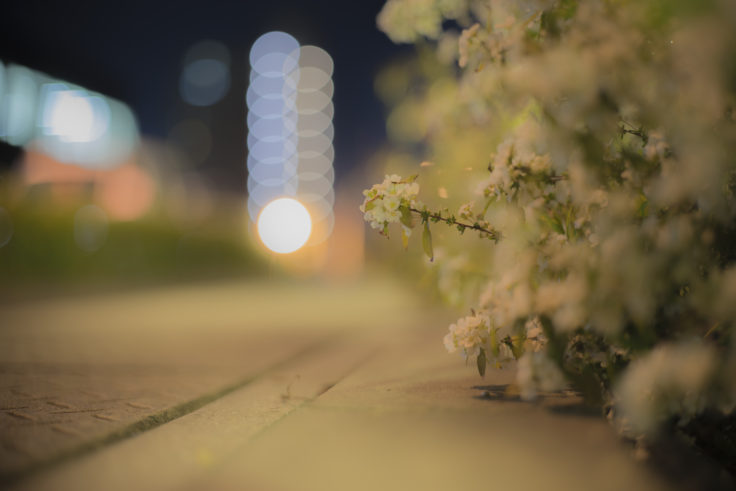 夜のユキヤナギ