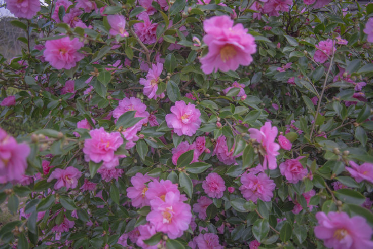 コテージさくらの里の山茶花