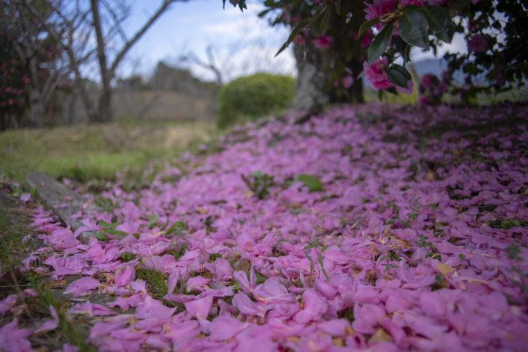 コテージさくらの里の散った山茶花