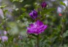 紫のムクゲ八重咲