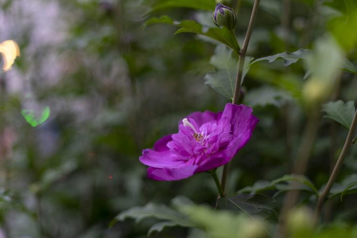 紫のムクゲ八重咲2
