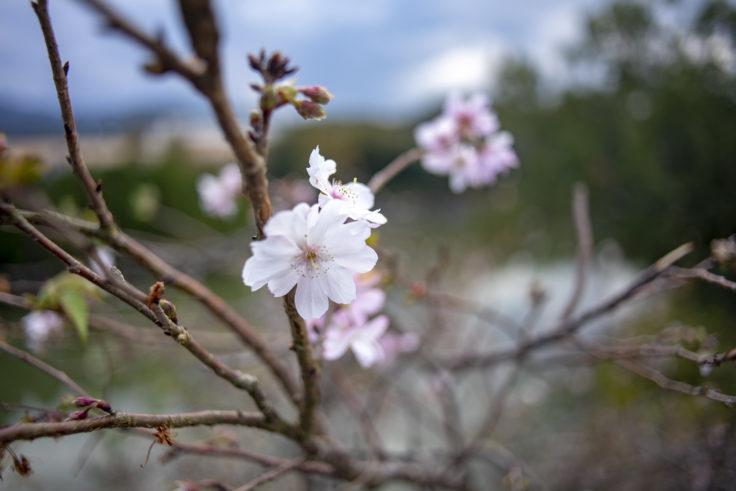 コテージさくらの里の十月桜