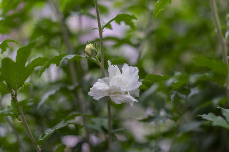 白のムクゲ八重咲