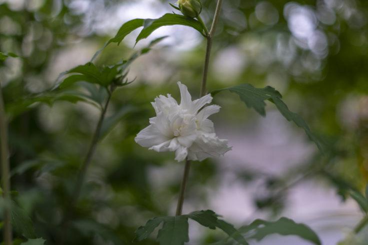 白のムクゲ八重咲2
